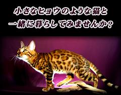 小さなヒョウのような猫と一緒に暮らしてみませんか?
