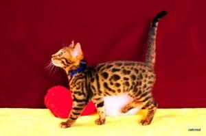 3ベンガルの子猫2016年1月7日生まれ220番ブラック君