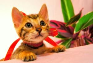ベンガルの子猫 29番ルビーちゃん2