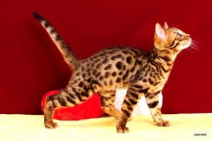 1ベンガルの子猫2016年1月7日生まれ220番ブラック君