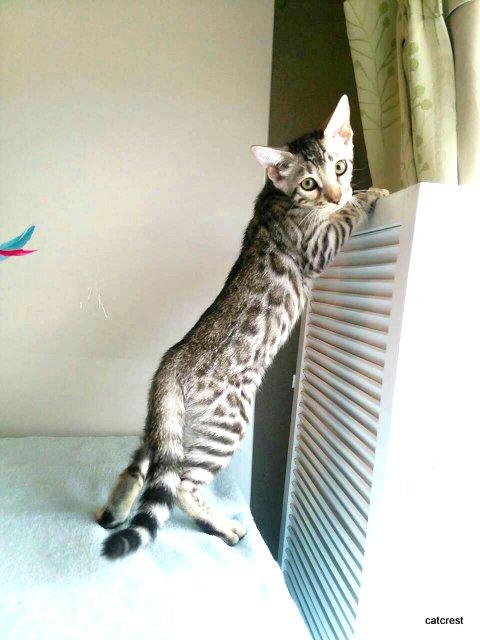 シルバーベンガルの子猫リム君