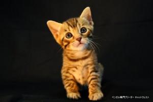 里親募集のベンガルの子猫