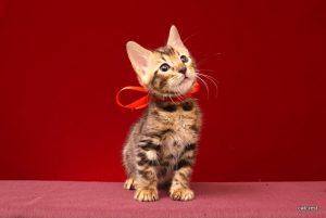 ベンガルの子猫2016年3月10日生まれ229番レッド君