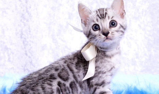 ベンガルの子猫2018/6/4生 529番しろ♂-3
