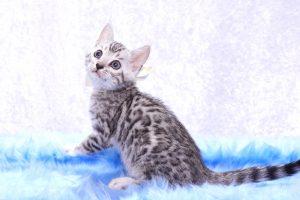 ベンガルの子猫2018/6/4生 529番しろ♂-4