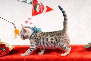 ベンガルの子猫2016年10月10日生まれ 268番 アクア君