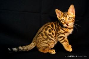 ベンガル子猫42番ブラッキー