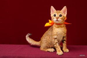 ベンガルの子猫2016年2月19日生まれ213番オレンジちゃん