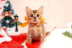 ベンガルの子猫2016年10月20日生まれ273番オレンジ君