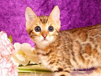 ベンガルの子猫2018/6/4生 527番あか♂-6