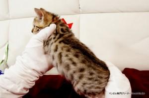 ベンガルの子猫94番あかちゃん