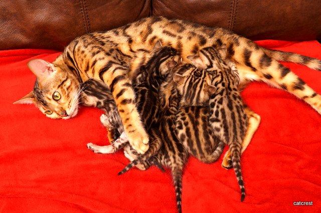 ベンガル子猫 販売