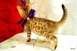 ベンガル子猫127番むらさきちゃん