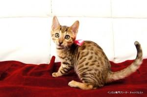 ベンガル子猫89番さくら