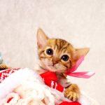 ベンガルの子猫 2016年11月3日生まれ 281番さくらちゃん