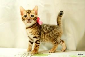 ベンガルの子猫131番ピンクちゃん