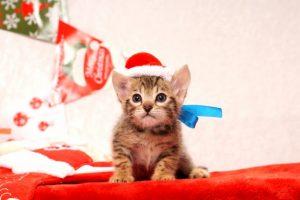 ベンガルの子猫2016年11月3日生まれ 280番あお君 オス