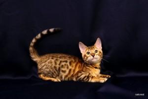 ベンガルの子猫160番キイロ君