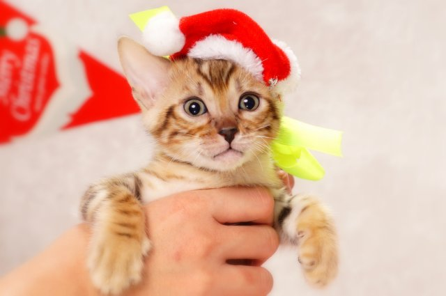 ベンガルの子猫2016年11月3日生まれ 274番きいろ君 オス
