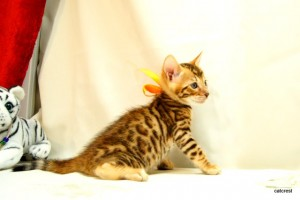 ベンガルの子猫129番オレンジくん