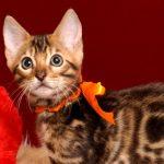 ベンガルの子猫2018/6/12生 537番オレンジ メス-2