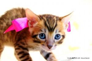 ベンガル子猫54番さくらちゃん2