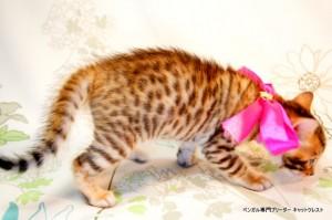 ベンガル子猫54番さくらちゃん6