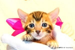 ベンガル子猫54番さくらちゃん1