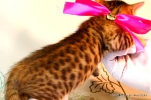 ベンガル子猫54番さくらちゃん4