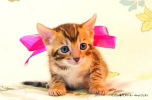 ベンガル子猫54番さくらちゃん5