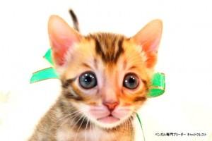 ベンガル子猫53番みどりくん1