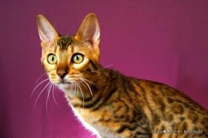 ベンガル猫チャコ5