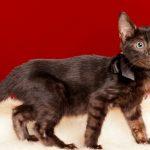 ベンガルの子猫2018/6/26生 545番ブラック♀‐1