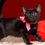 ベンガルの子猫2018/6/26生 543番ピンク♀-1