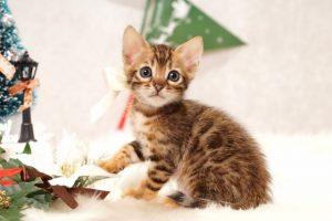 ベンガルの子猫 2016年11月3日生まれ 279番しろ君