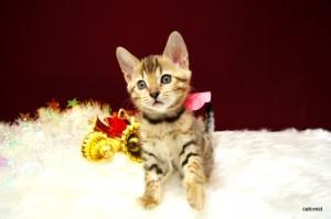 ベンガルの子猫134番ぴんくちゃん