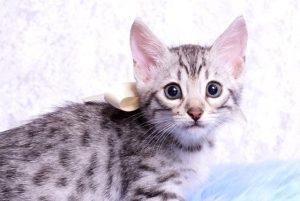ベンガルの子猫2018/7/26生 551番ホワイト オス-1