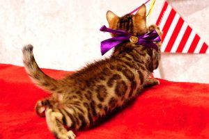 ベンガルの子猫277番むらさきちゃん
