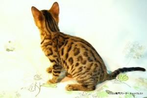 ベンガル子猫42番ブラッキーくん