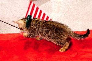 ベンガルの子猫2016年11月3日生まれ 278番みどり君