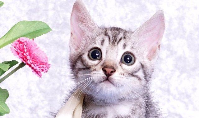 ベンガルの子猫2018/7/26生 551番ホワイト オス-7