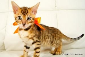 ベンガル子猫96番オレンジ君