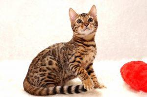 ベンガルの子猫2016年9月25日生まれ 283番ブルー君
