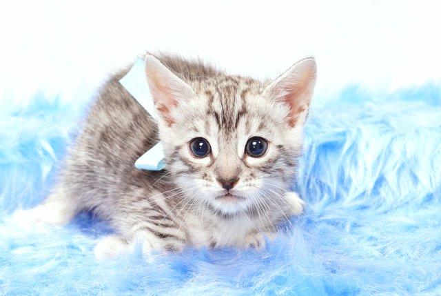ベンガルの子猫 2017年9月14日生まれ 407番みずいろ君 オス