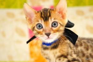ベンガルの子猫141番クロくん