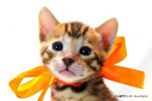 ベンガル子猫56番おれんじくん1
