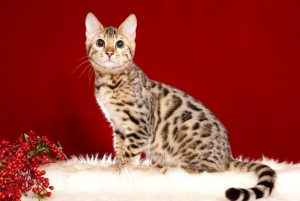 ベンガルの子猫2018/6/4生 557番パープル♀1