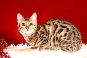ベンガルの子猫2018/6/4生 557番パープル♀3