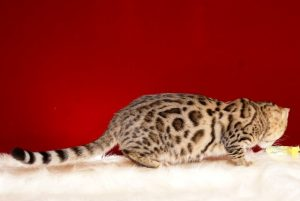 ベンガルの子猫2018/6/4生 557番パープル♀4