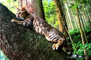 ベンガル猫チャコ3